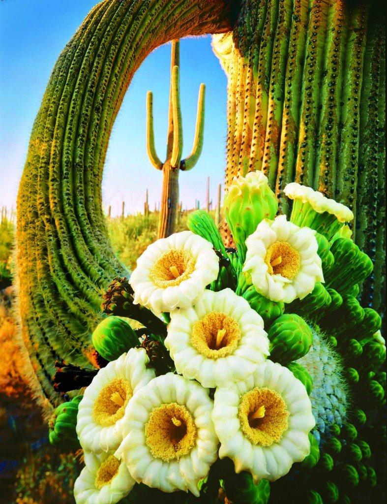 Saguaro Cactus and flowers in Arizona